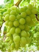 Uva blanca s /semilla